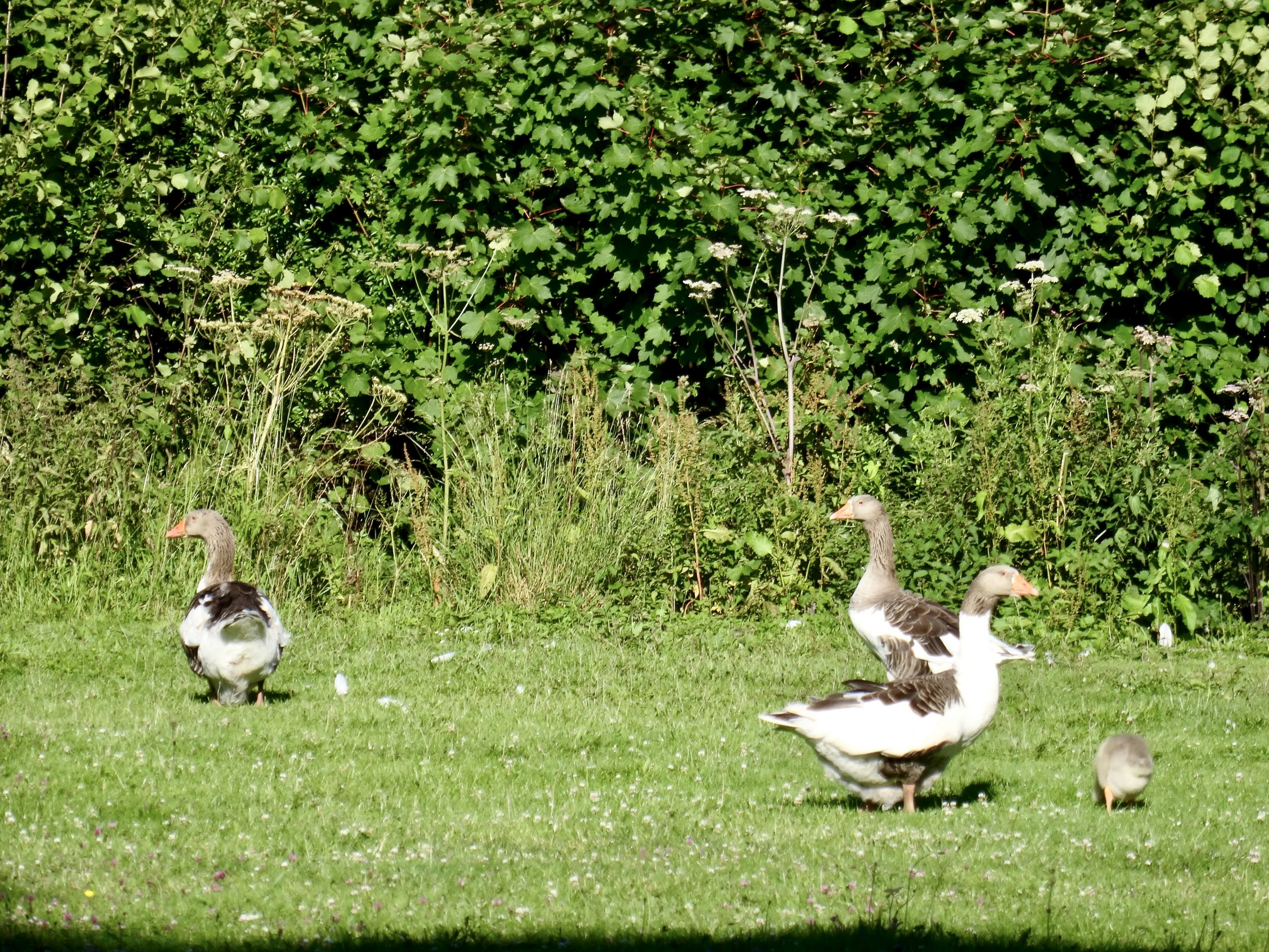 Goose watching over goslings on Herefordshire common